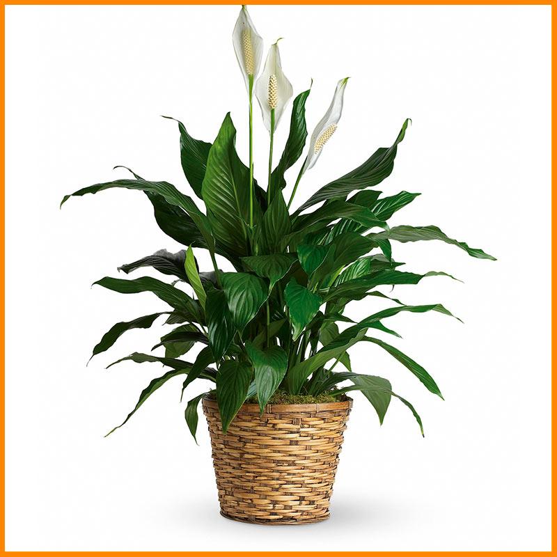 Simply Elegance Spathiphyllum Plant